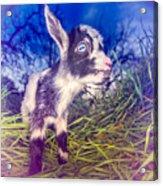 Moo Cow Love Grass Acrylic Print