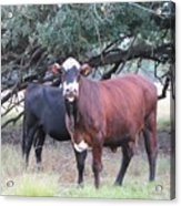 Moo Cow Acrylic Print