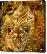 Moods Of Africa - Lions 2 Acrylic Print