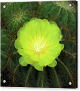Moon Cactus Acrylic Print