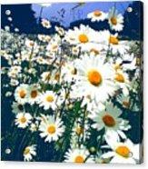 Moon Daisies Acrylic Print
