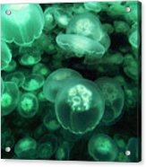 Moon Jelly Aurelia Aurita Group Acrylic Print