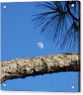 Moon On A Pine Bough Acrylic Print