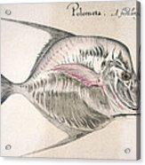 Moonfish, 1585 Acrylic Print