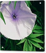 Moonflower Acrylic Print