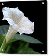 Moonflower - Rain Drops Acrylic Print