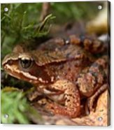 Moor Frog In September  Acrylic Print