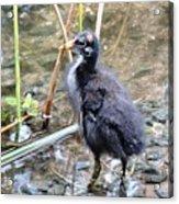 Moorhen Chick Acrylic Print