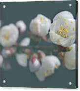 Moorpark Apricot B 4212 Acrylic Print