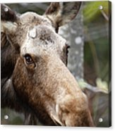 Moose - White Mountains New Hampshire Usa Acrylic Print
