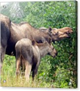 Moose And Calf Forage Acrylic Print