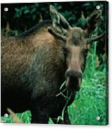 Moose At Lunch Acrylic Print