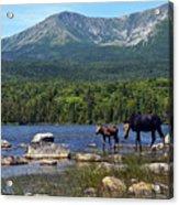 Moose Baxter State Park Maine 2 Acrylic Print