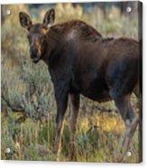 Moose Calf In Fall Colors Acrylic Print