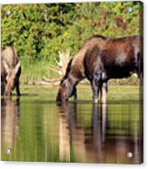 Moose Country Acrylic Print