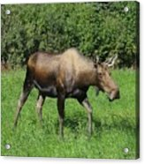Moose Cow Grazing Acrylic Print