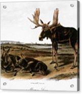 Moose Deer (cervus Alces) Acrylic Print by Granger