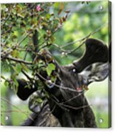 Moose Eating Crab Apple Tree Acrylic Print
