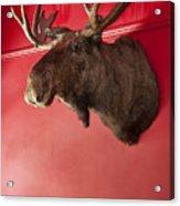 Moose Head Mounted On A Wall. Acrylic Print