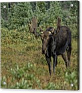 Moose In Shrubs Acrylic Print