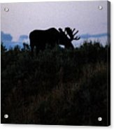 Moose In Silhouette Acrylic Print