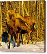 Moose In The Morning Acrylic Print
