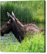 Moose In The Pond - 1 Acrylic Print
