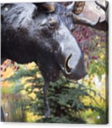 Moose In Vail Acrylic Print