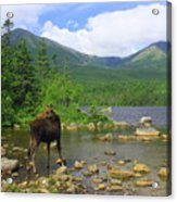 Moose Looking Back Sandy Stream Pond Acrylic Print