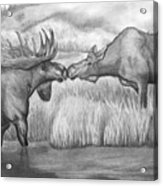 Moose Looking For Love Acrylic Print