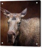 Moose Portrait Acrylic Print