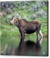 Moose Yellowstone Np_grk6918_05222018 Acrylic Print
