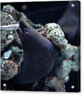 Moray Eel Eating Little Fish Acrylic Print