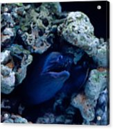 Moray Eel Or Muraenidae Fish Acrylic Print