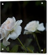 Morden Blush Rose Acrylic Print