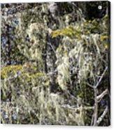 More Hoar On The Cedar Acrylic Print