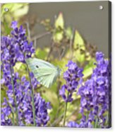 More Lavender Love Acrylic Print