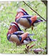 More Mandarin Ducks Acrylic Print