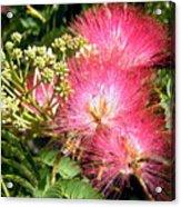 More Mimosa Acrylic Print