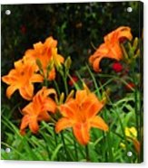 More Orange Daylilies Acrylic Print