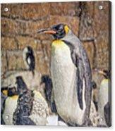 More Snow - King Penguin Acrylic Print