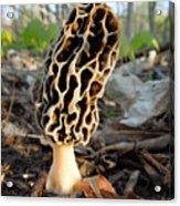 Morel Mushroom Acrylic Print