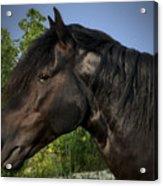 Morgan Horse Acrylic Print