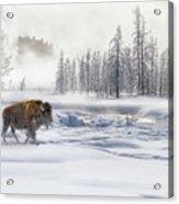 Morning Bison 4  7912-4 Acrylic Print