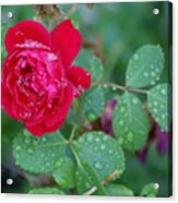 Morning Dew On A Rose Acrylic Print