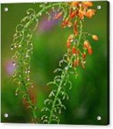 Morning Dew On Orange Flowers Acrylic Print