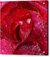 Morning Dew On Rose Acrylic Print
