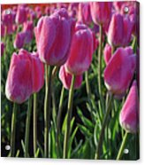 Morning Dew Tulips Acrylic Print