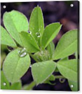 Dewdrops On Leaves Acrylic Print