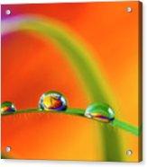 Morning Dewdrops Acrylic Print